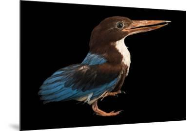 A white breasted kingfisher, Halcyon smyrnensis perpulchra, at Penang Bird Park.-Joel Sartore-Mounted Photographic Print
