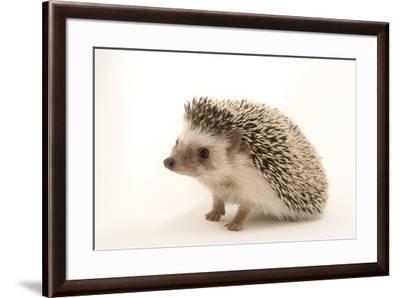 A North African hedgehog, Atelerix algirus, at the Virginia Aquarium.-Joel Sartore-Framed Photographic Print