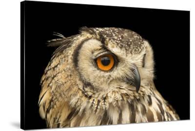 A rock eagle owl, Bubo bengalensis, at the Plzen Zoo.-Joel Sartore-Stretched Canvas Print