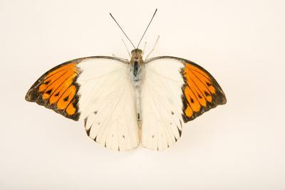 Great orange tip, Hebomoia glaucippe aturia, at Malacca Butterfly and Reptile Sanctuary.-Joel Sartore-Framed Photographic Print