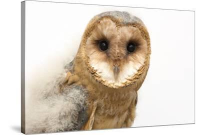 A fledgling European barn owl, Tyto alba guttata, from the Plzen Zoo.-Joel Sartore-Stretched Canvas Print
