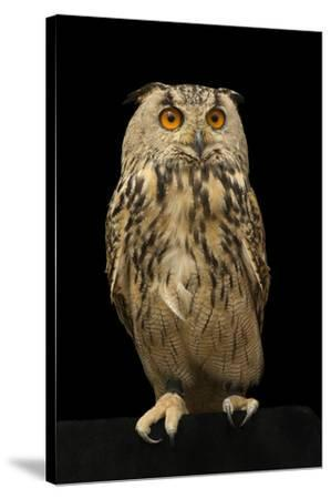 An Eurasian eagle owl, Bubo bubo omissus, at the Plzen Zoo.-Joel Sartore-Stretched Canvas Print