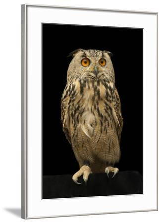 An Eurasian eagle owl, Bubo bubo omissus, at the Plzen Zoo.-Joel Sartore-Framed Photographic Print