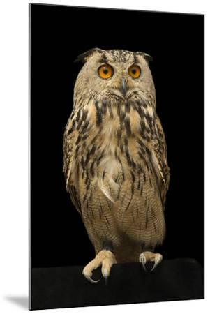 An Eurasian eagle owl, Bubo bubo omissus, at the Plzen Zoo.-Joel Sartore-Mounted Photographic Print