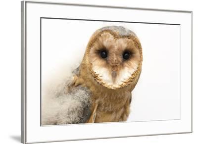 A fledgling European barn owl, Tyto alba guttata, from the Plzen Zoo.-Joel Sartore-Framed Photographic Print