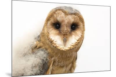 A fledgling European barn owl, Tyto alba guttata, from the Plzen Zoo.-Joel Sartore-Mounted Photographic Print