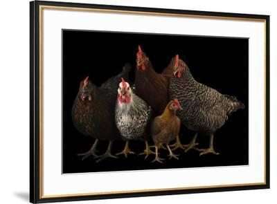 Plymouth barred rock, silver laced wyandotte, New Hampshire, black and bantam hen-Joel Sartore-Framed Photographic Print