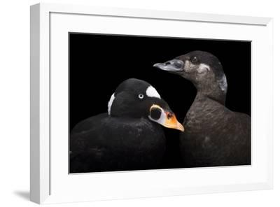 A male and female surf scoter at Patuxent Wildlife Research Center.-Joel Sartore-Framed Photographic Print