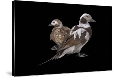 Two long tailed ducks or oldsquaws at Patuxent Wildlife Research Center.-Joel Sartore-Stretched Canvas Print
