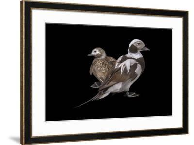 Two long tailed ducks or oldsquaws at Patuxent Wildlife Research Center.-Joel Sartore-Framed Photographic Print
