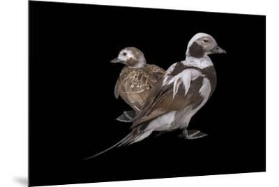 Two long tailed ducks or oldsquaws at Patuxent Wildlife Research Center.-Joel Sartore-Mounted Photographic Print