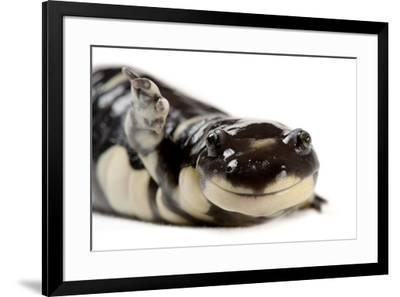 A California tiger salamander, Ambystoma californiense, at the Fresno Chaffee Zoo.-Joel Sartore-Framed Photographic Print