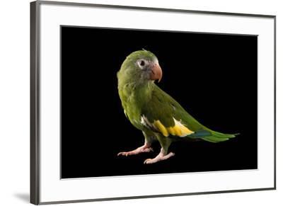 White winged parakeet, Brotogeris versicolurus, at Cafam Zoo.-Joel Sartore-Framed Photographic Print