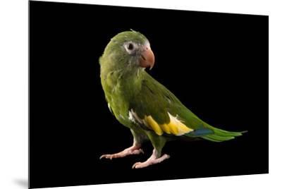 White winged parakeet, Brotogeris versicolurus, at Cafam Zoo.-Joel Sartore-Mounted Photographic Print