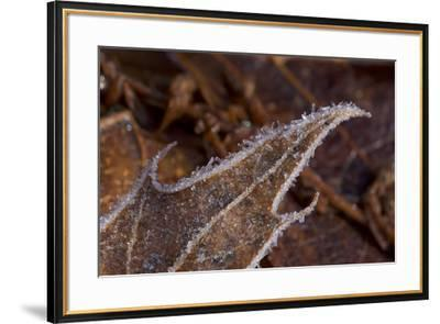 Close-up of ice crystals on the tip of an oak leaf.  Winter views at Walden Pond.-Tim Laman-Framed Photographic Print