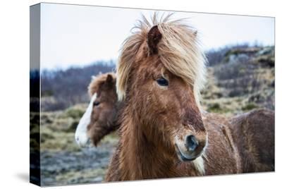 Portrait of an Icelandic pony, Equus caballus.-Robbie George-Stretched Canvas Print