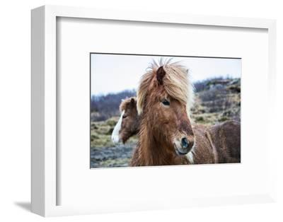 Portrait of an Icelandic pony, Equus caballus.-Robbie George-Framed Photographic Print