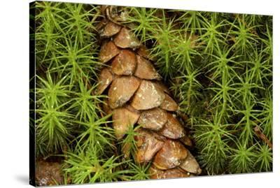 A cone from a white pine lies amidst clubmosses.-Tim Laman-Stretched Canvas Print