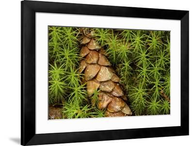A cone from a white pine lies amidst clubmosses.-Tim Laman-Framed Photographic Print