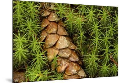A cone from a white pine lies amidst clubmosses.-Tim Laman-Mounted Photographic Print