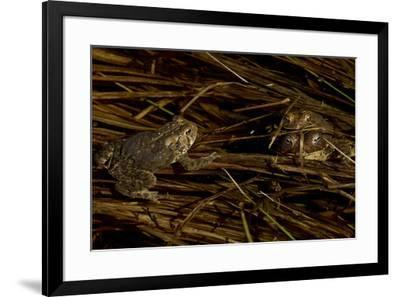 Mating toads and an observer.  Wyman Meadow at Walden Pond.-Tim Laman-Framed Photographic Print