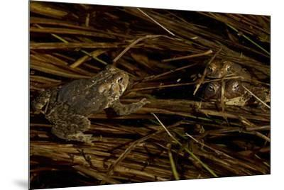 Mating toads and an observer.  Wyman Meadow at Walden Pond.-Tim Laman-Mounted Photographic Print