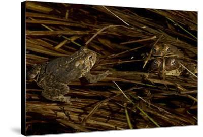 Mating toads and an observer.  Wyman Meadow at Walden Pond.-Tim Laman-Stretched Canvas Print