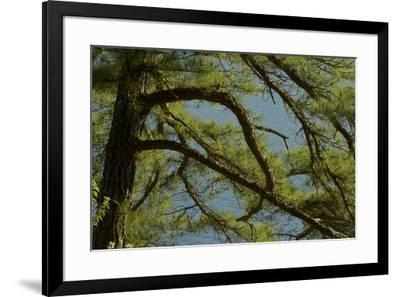Pine branches frame the waters of Walden Pond.-Tim Laman-Framed Photographic Print