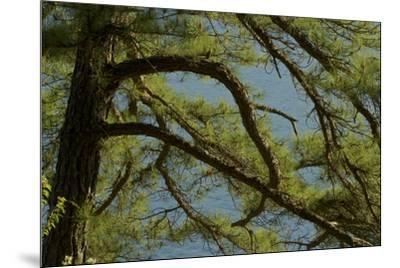 Pine branches frame the waters of Walden Pond.-Tim Laman-Mounted Photographic Print