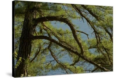 Pine branches frame the waters of Walden Pond.-Tim Laman-Stretched Canvas Print