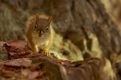 American red squirrel, Tamiasciurus hudsonicus, on the forest floor in autumn.-Tim Laman-Framed Photographic Print