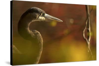 A side view portrait of a great blue heron, Ardea herodias,  though green foliage.-Tim Laman-Stretched Canvas Print