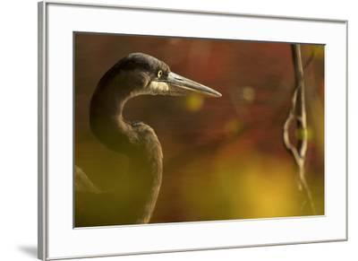 A side view portrait of a great blue heron, Ardea herodias,  though green foliage.-Tim Laman-Framed Photographic Print