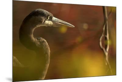A side view portrait of a great blue heron, Ardea herodias,  though green foliage.-Tim Laman-Mounted Photographic Print