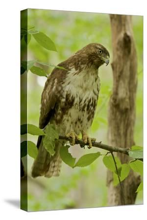 Buteo jamaicensis, a juvenile Red-tailed Hawk, perched on a branch near Walden Pond.-Tim Laman-Stretched Canvas Print
