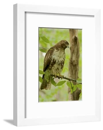Buteo jamaicensis, a juvenile Red-tailed Hawk, perched on a branch near Walden Pond.-Tim Laman-Framed Photographic Print