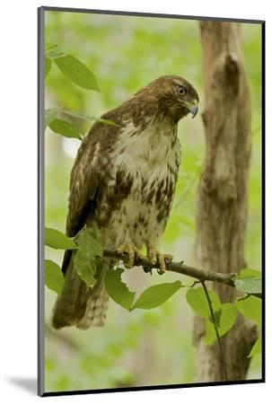 Buteo jamaicensis, a juvenile Red-tailed Hawk, perched on a branch near Walden Pond.-Tim Laman-Mounted Photographic Print