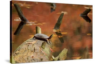 A basking Eastern Painted Turtle, Chrysemys picta.-Tim Laman-Stretched Canvas Print