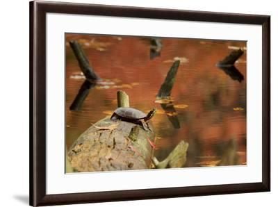 A basking Eastern Painted Turtle, Chrysemys picta.-Tim Laman-Framed Photographic Print