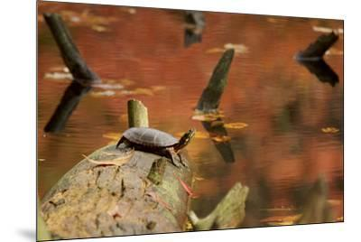 A basking Eastern Painted Turtle, Chrysemys picta.-Tim Laman-Mounted Photographic Print