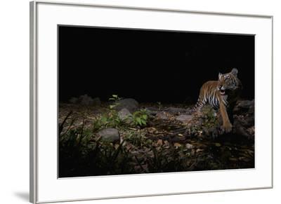 A remote camera captures an Indochinese tiger while hunting.-Steve Winter-Framed Photographic Print