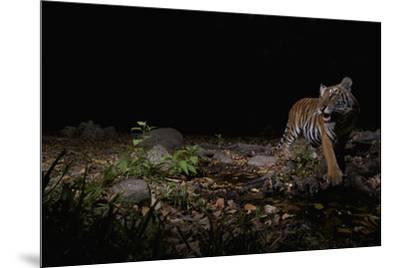 A remote camera captures an Indochinese tiger while hunting.-Steve Winter-Mounted Photographic Print