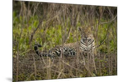 A jaguar in the Pantanal of Mato Grosso Sur in Brazil.-Steve Winter-Mounted Photographic Print