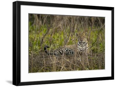 A jaguar in the Pantanal of Mato Grosso Sur in Brazil.-Steve Winter-Framed Photographic Print