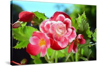 Close up of a cluster of Picotee begonia flowers.-Darlyne A^ Murawski-Stretched Canvas Print