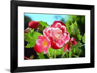 Close up of a cluster of Picotee begonia flowers.-Darlyne A^ Murawski-Framed Photographic Print
