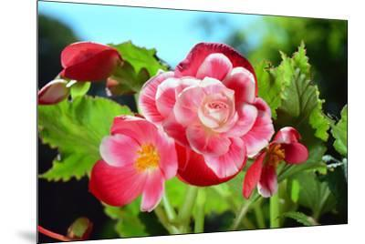 Close up of a cluster of Picotee begonia flowers.-Darlyne A^ Murawski-Mounted Photographic Print