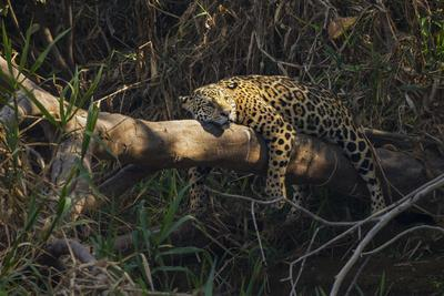A jaguar along a riverbank in the Pantanal of Mato Grosso Sur in Brazil.-Steve Winter-Framed Photographic Print