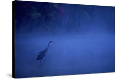 A great blue heron stands in Walden Pond as snow falls at dusk.-Tim Laman-Stretched Canvas Print