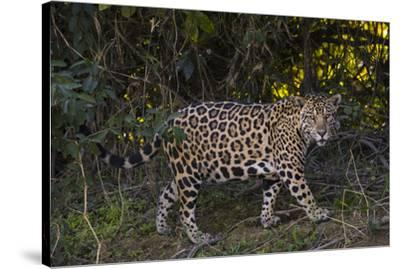 A jaguar along a riverbank in the Pantanal of Mato Grosso Sur in Brazil.-Steve Winter-Stretched Canvas Print